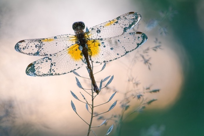 Dragonfly Photo by Сергій Мірошник, CC BY-SA 4.0